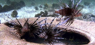 Lionfish - Aruba Marine Park Foundation