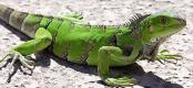 Green iguana on Aruba