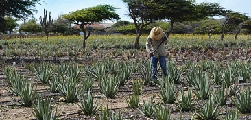 Aruba Aloe Field