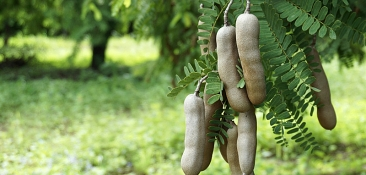 Tamarind Fruit Pods