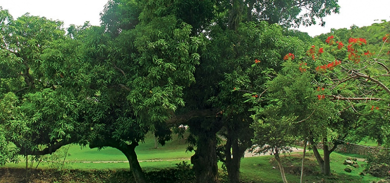 300 Year Old Mango Tree - Loterie Farm